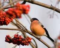 Bullfinch (Pyrrhula) Stock Photography