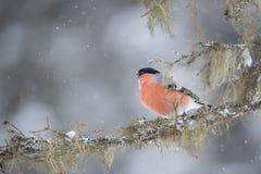 Bullfinch, Pyrrhula Pyrrhula Ein Vogel mit einem orange Kasten stockfotos