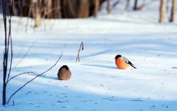 Bullfinch, Pyrrhula pyrrhula Stock Images