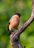 Bullfinch (Pyrrhula pyrrhula) Stock Photo