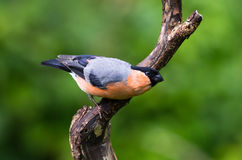 Bullfinch (Pyrrhula pyrrhula) Stock Photo