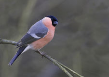 Bullfinch (Pyrrhula pyrrhula). Perched on a twig against a barren backgroundrare endangered scarce Royalty Free Stock Photo