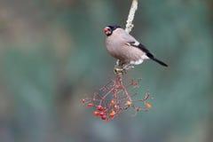Bullfinch, Pyrrhula Pyrrhula Stockbilder