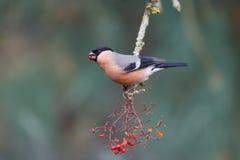 Bullfinch, pyrrhula Pyrrhula Στοκ Εικόνες