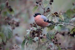 Bullfinch, pyrrhula Pyrrhula Στοκ φωτογραφίες με δικαίωμα ελεύθερης χρήσης