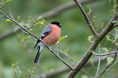 Bullfinch, pyrrhula Pyrrhula Стоковые Изображения