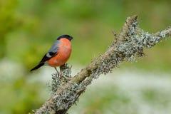 Bullfinch - pyrrhula Pyrrhula Στοκ Εικόνα