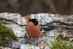 Bullfinch (Pyrrhula pyrrhula) on birch trunk for natural backgro Stock Photos