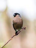 Bullfinch (Pyrrhula pyrrhula) Royalty Free Stock Images