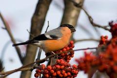 Bullfinch, Pyrrhula Pyrrhula, Mann Stockbild
