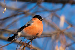 Bullfinch, Pyrrhula Pyrrhula, Mann Stockfotografie