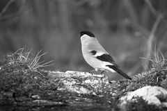 Bullfinch Pyrrhula pyrrhula on the shore of the forest pond fo Stock Image