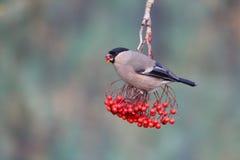 Bullfinch, Pyrrhula pyrrhula. Single female on red berries, Warwickshire, January 2015 Royalty Free Stock Images