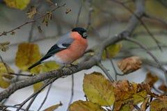 Bullfinch, Pyrrhula pyrrhula. Single male on branch Royalty Free Stock Image