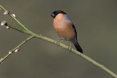 Bullfinch, Pyrrhula pyrrhula Stock Photography