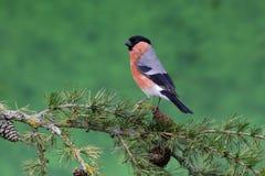 Bullfinch, Pyrrhula pyrrhula. Single male on branch, Warwickshire, June 2014 Royalty Free Stock Images