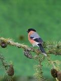 Bullfinch, Pyrrhula pyrrhula. Single male on branch, Warwickshire, June 2014 Stock Photos