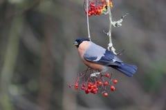 Bullfinch, Pyrrhula pyrrhula. Single male on red berries, Warwickshire, January 2015 Royalty Free Stock Photography