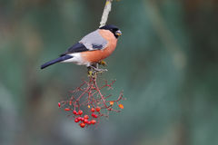 Bullfinch, Pyrrhula pyrrhula Royalty Free Stock Photo
