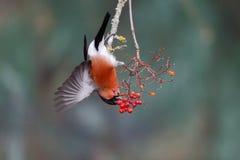 Bullfinch, Pyrrhula pyrrhula. Single male on red berries, Warwickshire, January 2015 Royalty Free Stock Photo