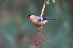 Bullfinch, Pyrrhula pyrrhula. Single male on red berries, Warwickshire, January 2015 Stock Images