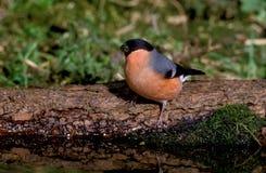 Bullfinch, Pyrrhula pyrrhula Stock Image