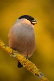 Bullfinch, Pyrrhula pyrrhula, sitting on yellow lichen branch, Sumava, Czech republic, Female grey songbird with green and yellow. Background, Germany Stock Photography