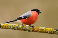 Bullfinch, Pyrrhula pyrrhula, sitting on yellow lichen branch, Sumava, Czech republic, red male songbird with green and yellow cle Royalty Free Stock Images