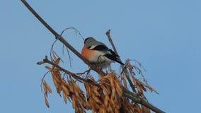 Bullfinch-Pyrrhula Pyrrhulamann, der auf einer Niederlassung sitzt und Ahornsamen isst stock video