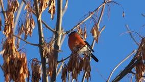 Bullfinch-Pyrrhula Pyrrhulamann, der auf einer Niederlassung sitzt und Ahornsamen isst stock video footage