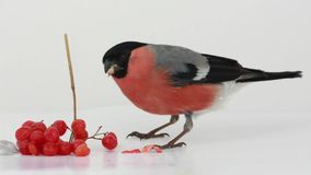 Bullfinch with red berries  isolated on a white stock footage