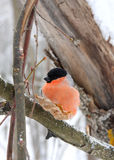 The bullfinch with a red breast Royalty Free Stock Photos