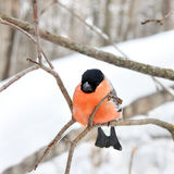 The bullfinch with a red breast Stock Photo
