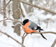 The bullfinch with a red breast Stock Photos