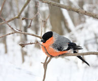 The bullfinch with a red breast Royalty Free Stock Photo