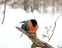 Bullfinch Stock Photography