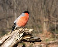 The bullfinch with a red breast Stock Photography
