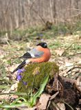 The bullfinch with a red breast Royalty Free Stock Images