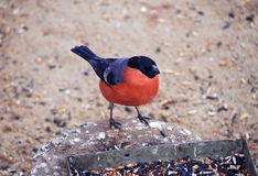 Bullfinch with red plumage close up. The Bullfinch with red plumage close up Royalty Free Stock Photos