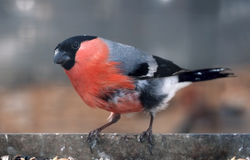 Bullfinch with red plumage sitting at metal plate close-up. Bullfinch with red plumage sitting at the metal plate close-up Royalty Free Stock Image