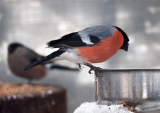 Bullfinch with red plumage sitting at metal plate close up. Bullfinch with red plumage sitting at the metal plate close up Stock Images