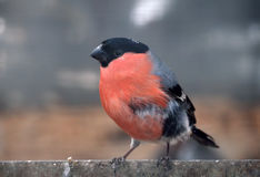 Bullfinch with red plumage sitting at metal plate looking at. Bullfinch with red plumage sitting at the metal plate looking at the right Royalty Free Stock Images