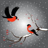 Bullfinch on rowan branch, snow, merry christmas, gray background. Winter vector illustration. Royalty Free Stock Photography