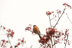 Bullfinch on Rowan royalty free stock photography