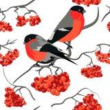 Bullfinch and rowan seamless pattern.  Stock Images