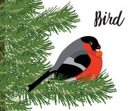 Bullfinch with rowanberry sitting on conifer branch, white backg Stock Image
