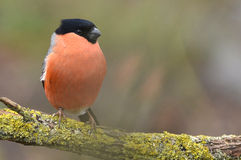 A bullfinch with salmon red breast feathers. Male bullfinch with salmon red breast feathers, and black head. A beautiful bird Royalty Free Stock Images