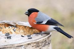 Bullfinch with seed Royalty Free Stock Images