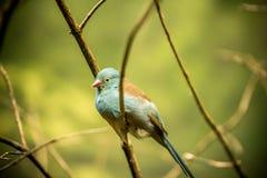Bullfinch Sitiing στον κλάδο Στοκ Εικόνες
