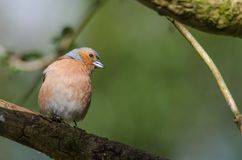 A bullfinch sits on a branch stock images